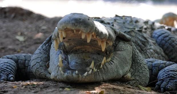 ضحية مخدر التمساح